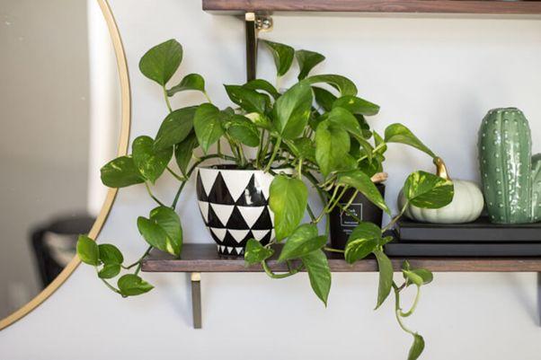 Money plant or pothos or  Epipremnum aureum