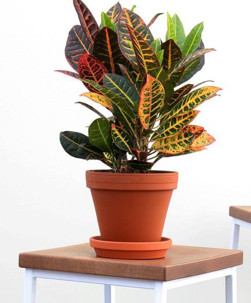 Croton or C odiaeum variegatum