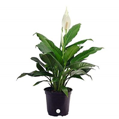 Peace lily or Spathiphyllum  sp.
