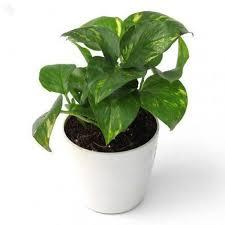 Money plant or pothos