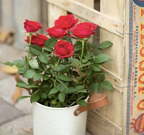 How to grow rose plants