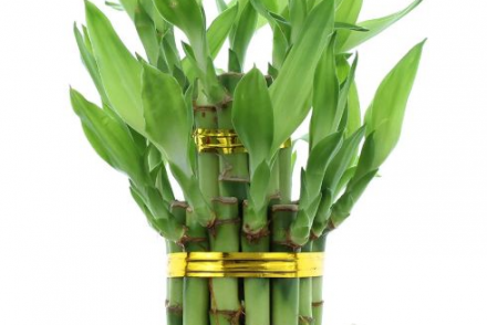 How to Successfully Grow Lucky Bamboo: Care Tips, Do's and Don'ts