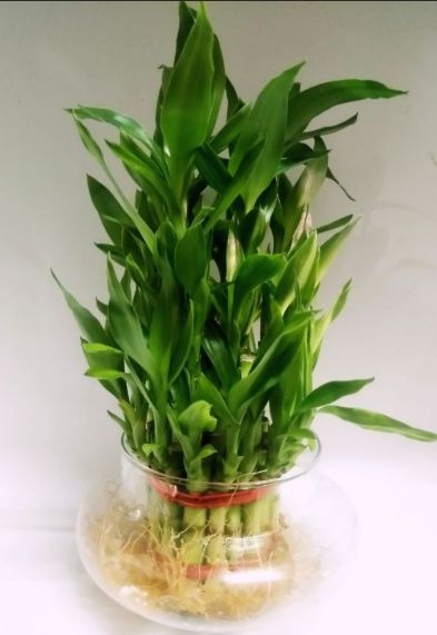 Lucky Bamboo in a glass vase